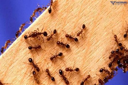 Διώξτε τα μυρμήγκια από το σπίτι σας με φυσικό τρόπο